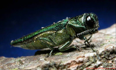 The Emerald Ash Borer Insect