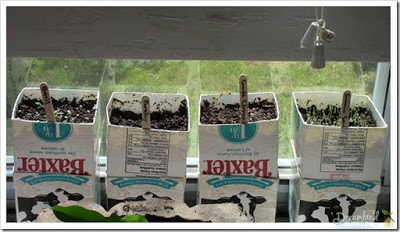 Started an herb garden in milk cartons