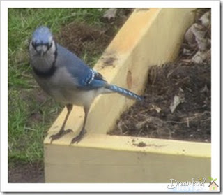 Blue jay on raised bed