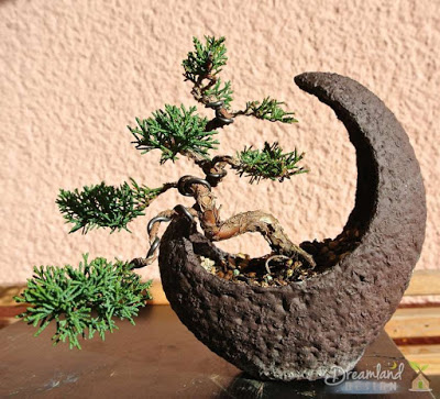 Bonsai, juniper, moon bowl, nature, japanese, harmony, tree, plant
