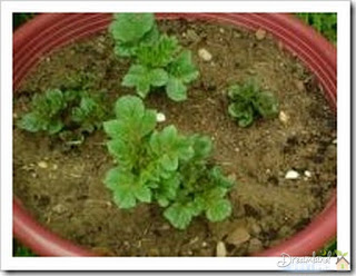 Container Gardening Potatoes