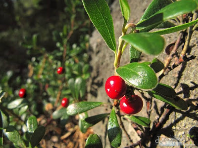 The lingonberry, Foxberry, Cowberry