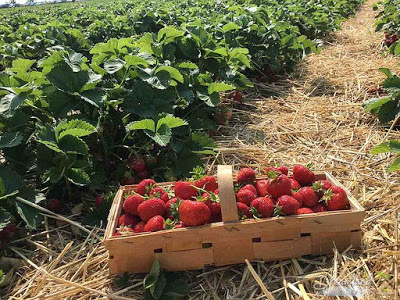 Some of the Tips for Growing Strawberries