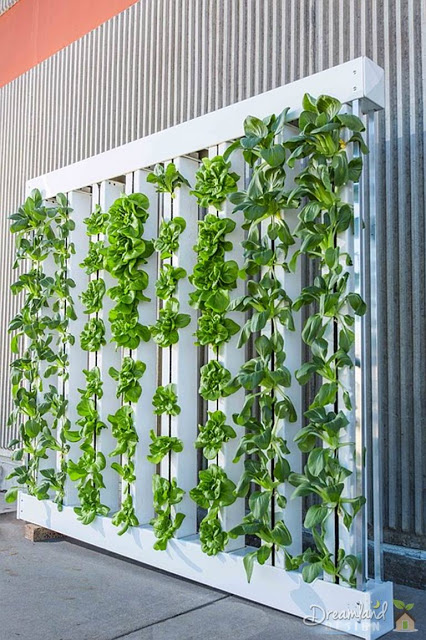 Vertical farm green wall bok choy lettuce