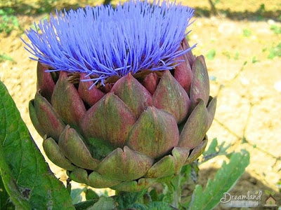 Planting Artichokes in the Garden