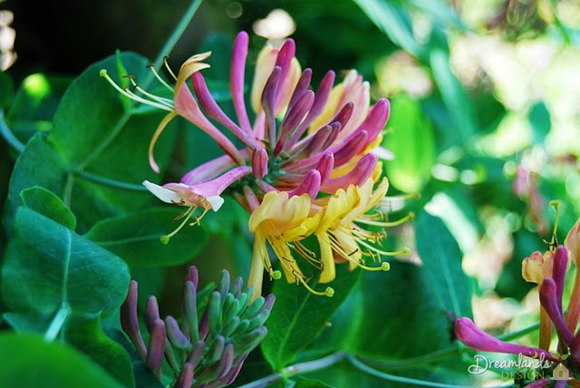 Honeysuckle - Different Types of Evergreen Trees