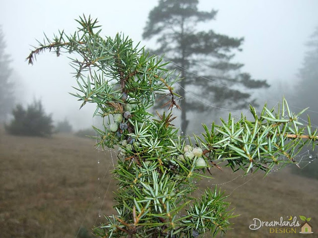 The Juniper tree - Different Types of Evergreen Trees