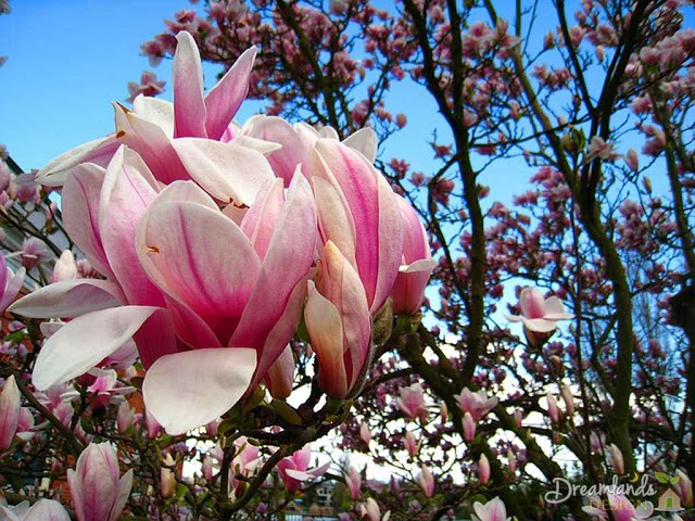 Magnolia tree - Different Types of Evergreen Trees