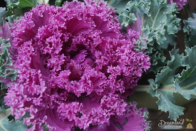 purple ornamental kale