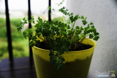 When choosing an herb to grow, parsley is one of the best picks (How To Grow Herbs)