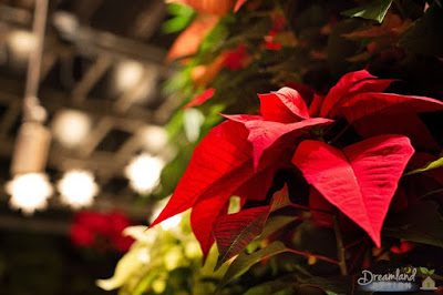 How to Care for a Poinsettia Plant