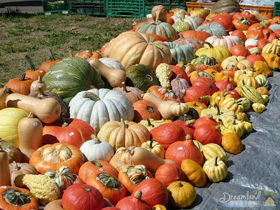 Types of Pumpkins and Instructions for Planting Pumpkins Seeds