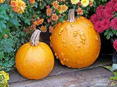 Image of Harvesting Pumpkins and Gourds (How to Grow Pumpkins Successfully)