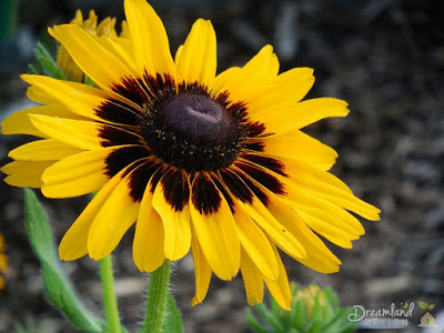Planting Black Eyed Susan Flowers